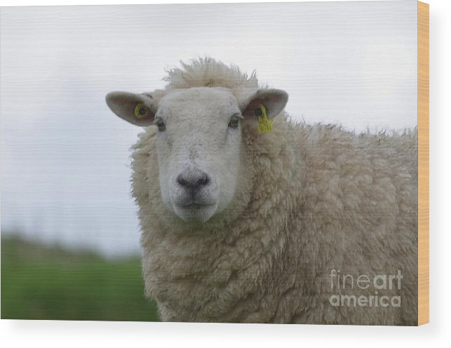 Sheep Wood Print featuring the photograph Fuzzy White Sheep In A Remote Location by DejaVu Designs