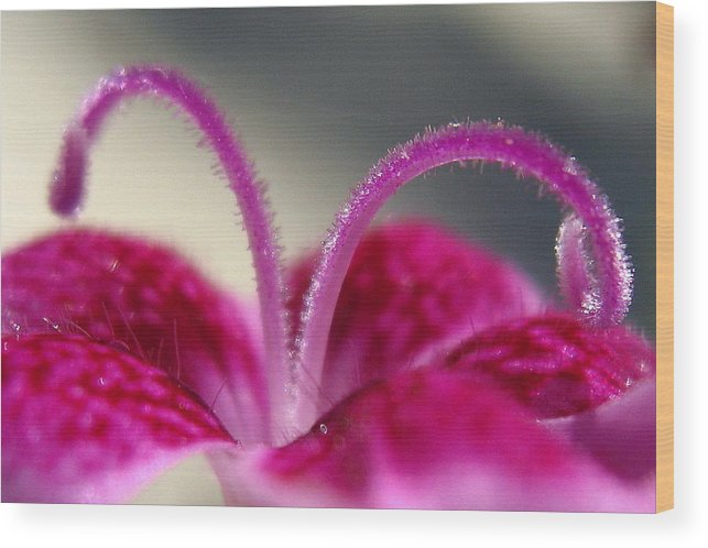 Dianthus Wood Print featuring the photograph Fuzzzzz by Marla McFall