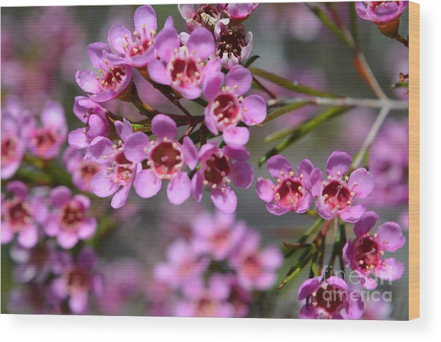 Geraldton wax flowers cwa pink australian native flower wood wax flower wood print featuring the photograph geraldton wax flowers cwa pink australian native mightylinksfo