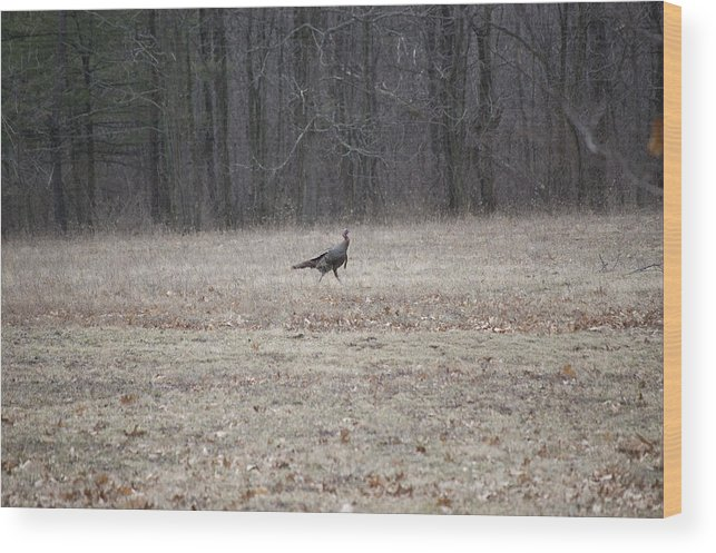 Nature Wood Print featuring the photograph Gobbler Running Across The Field by Richard Botts