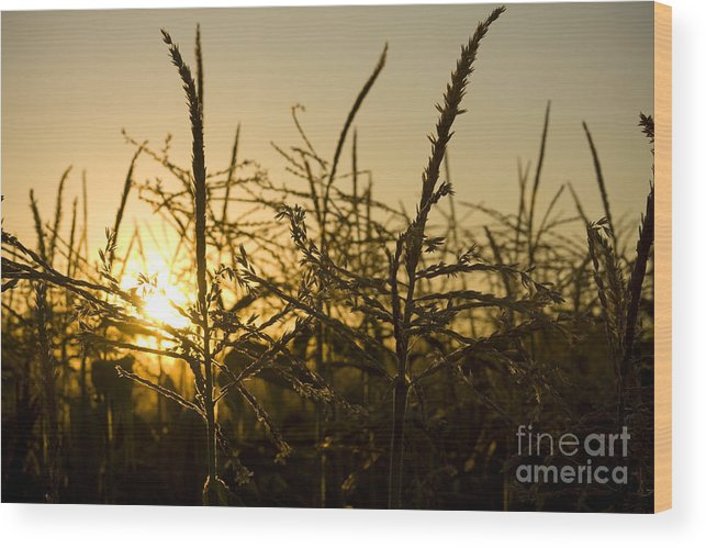 Golden Wood Print featuring the photograph Golden Corn by Idaho Scenic Images Linda Lantzy