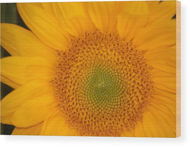 Sunflower Wood Print featuring the photograph Golden Sunflower by Liz Vernand
