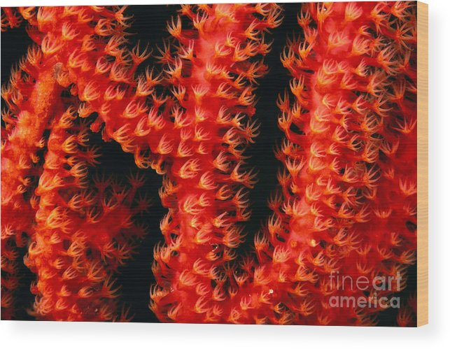 Branch Wood Print featuring the photograph Gorgonian Coral by Dave Fleetham - Printscapes