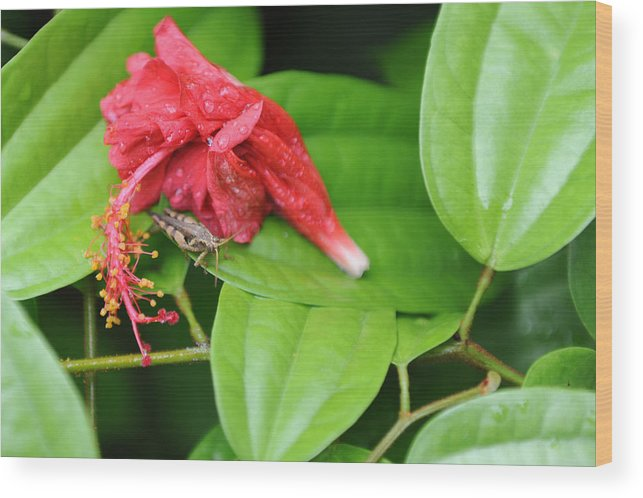 Red Wood Print featuring the photograph Grasshopper And Hibiscus by Jessica Rose
