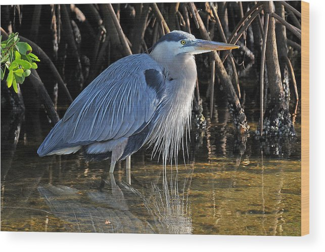Heron Wood Print featuring the photograph Great Blue Heron With Beard by Alan Lenk