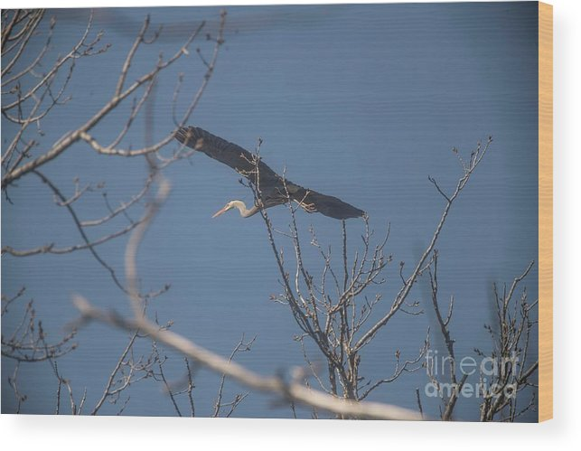 Great Blue Heron Wood Print featuring the photograph Great Blue In Flight by David Bearden