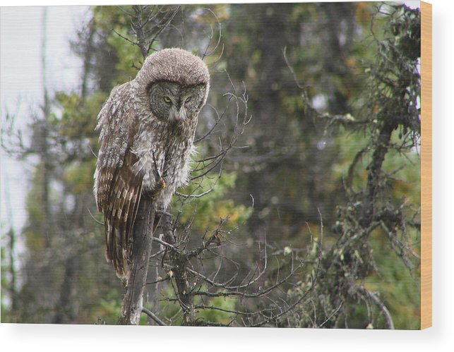 Owls Wood Print featuring the photograph Great Grey by Dave Clark