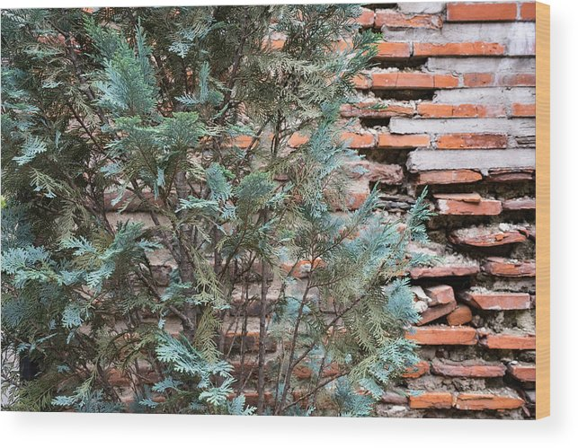 Georgia Mizuleva Wood Print featuring the photograph Green And Red - Cypress Branches Over Antique Roman Brick Wall by Georgia Mizuleva