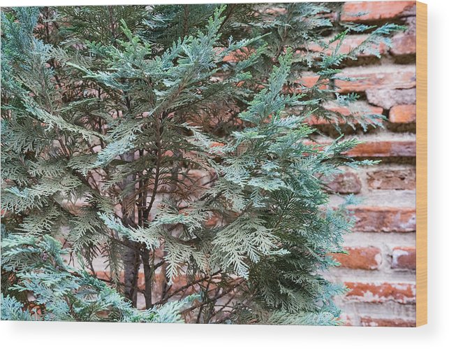 Georgia Mizuleva Wood Print featuring the photograph Green And Red - Slender Cypress Branches Over Rough Roman Brick Wall by Georgia Mizuleva