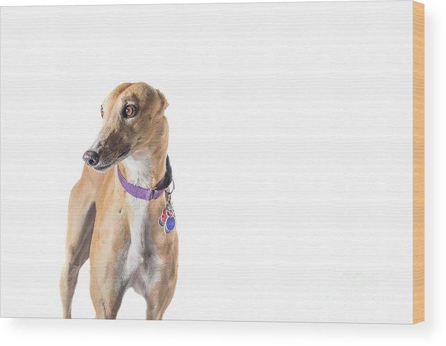Greyhound Wood Print featuring the photograph Greyhound Rescue by Samuel Jokich