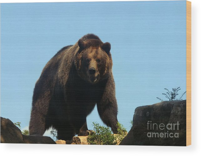 Animal Wood Print featuring the photograph Grizzly-7746 by Gary Gingrich Galleries