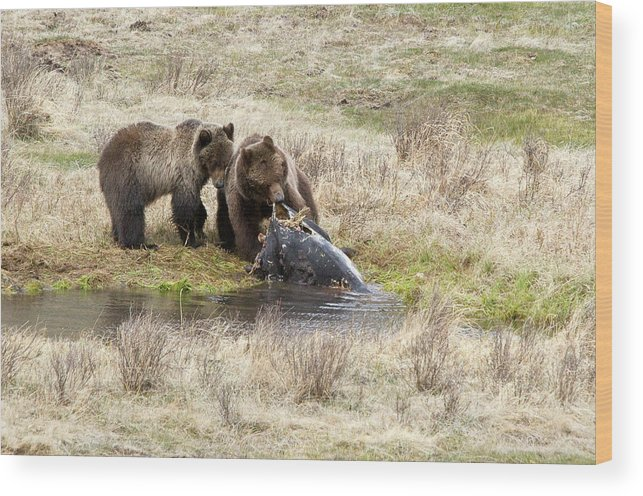 Yellowstone Wood Print featuring the photograph Grizzly Dinner by Steve Stuller