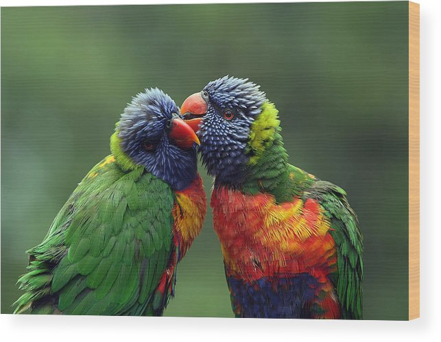 Lorikeets Wood Print featuring the photograph Grooming In The Rain by Lesley Smitheringale