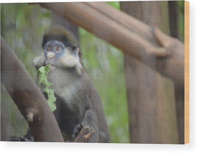 Wildlife Wood Print featuring the photograph Guenon  4 by Brad Kennedy