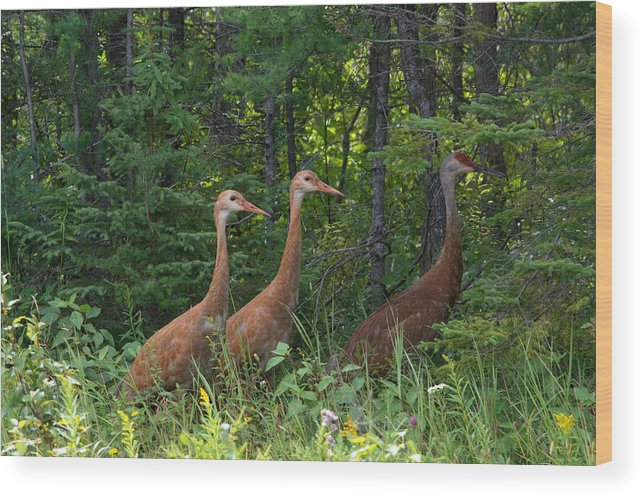 Seney National Wildlife Refuge Wood Print featuring the photograph Headed For The Woods by Linda Kerkau
