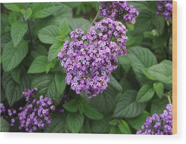 Heliotrope Wood Print featuring the photograph Heliotrope by Terese Loeb Kreuzer