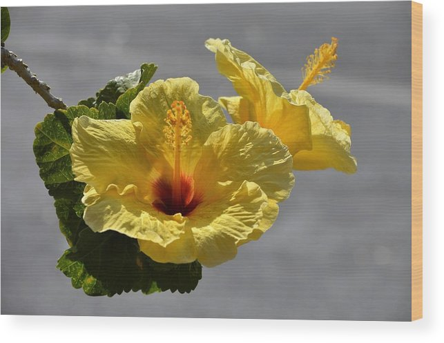 Flowers Wood Print featuring the photograph Hibiscus by Jewels Hamrick
