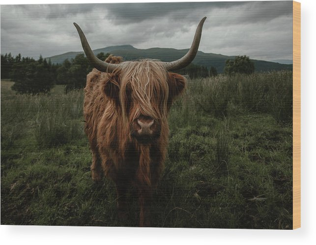 Highland Wood Print featuring the photograph Highland Cow by Marina Weishaupt
