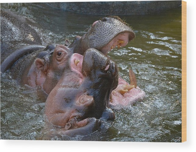 Hippos Wood Print featuring the photograph Hip Hip Hooray by Jacqueline Howe