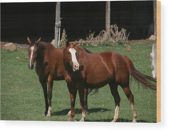Horses Wood Print featuring the photograph Horses by Doug Shier