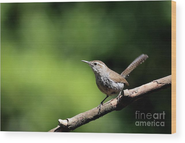 Bird Wood Print featuring the photograph House Wren . 40d8055 by Wingsdomain Art and Photography