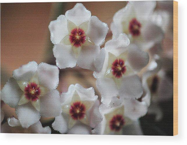 Flower Wood Print featuring the photograph Hoya Bella Bloom by Sheri Bartoszek