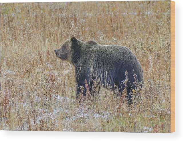 Huckleberry Bear Wood Print featuring the photograph Huck's Snaggletooth Profile by Yeates Photography