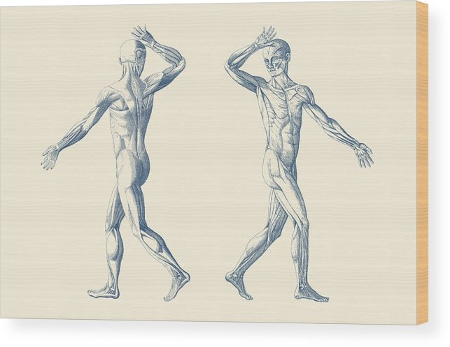 Muscular System Wood Print featuring the drawing Human Muscular System - Dual View - Vintage Anatomy Poster by Vintage Anatomy Prints
