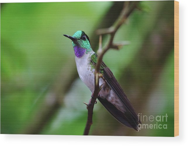 Hummingbird Wood Print featuring the photograph White-bellied Mountain Gem by Leia Hewitt