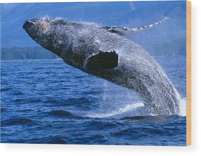 Animal Art Wood Print featuring the photograph Humpback Full Breach by John Hyde - Printscapes