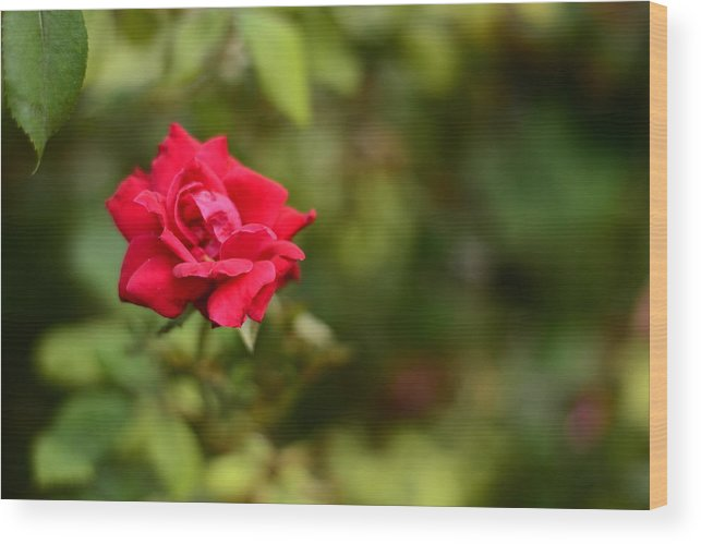 Rose Wood Print featuring the photograph In Bloom by Angela Resendez