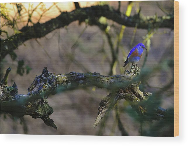 Bluebird Wood Print featuring the photograph Isolated Blue Bird by Surjanto Suradji
