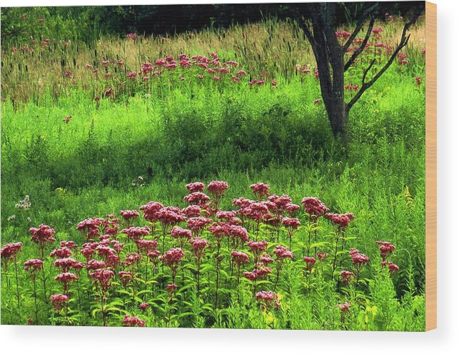 Wildflowers Wood Print featuring the photograph Joe Pye Weed by Roger Soule