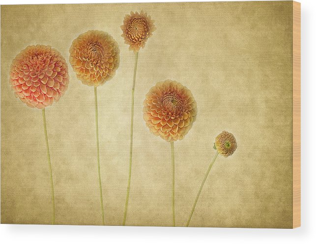 Dahlias Wood Print featuring the photograph Just Dahlia-ing Around by Rebecca Cozart