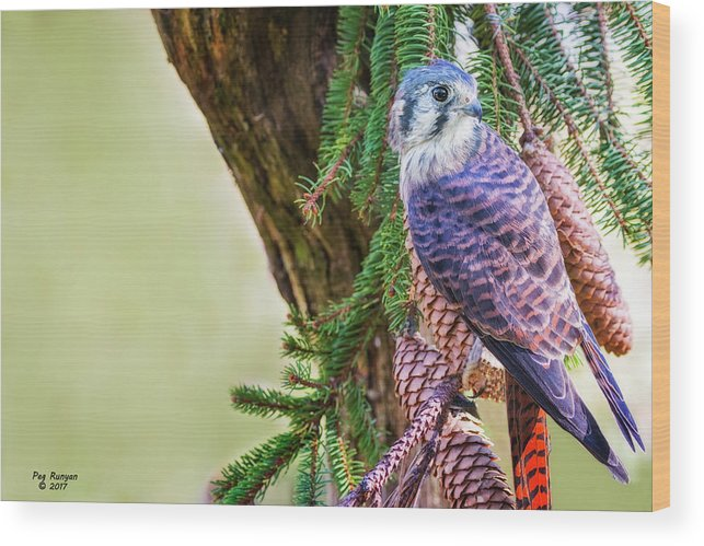 Kestrel Falcon Wood Print featuring the photograph Kestrel On The Cones by Peg Runyan