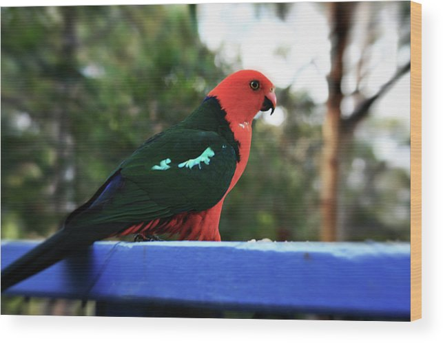 King Parrot Wood Print featuring the photograph King Of The Parrots by Douglas Barnard