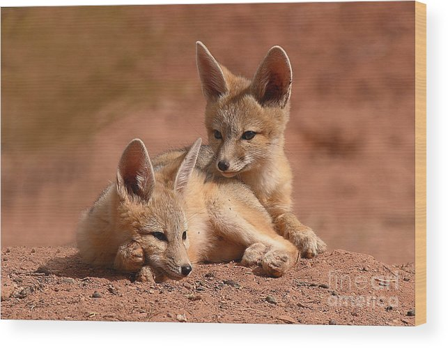 Fox Wood Print featuring the photograph Kit Fox Pups On A Lazy Day by Max Allen