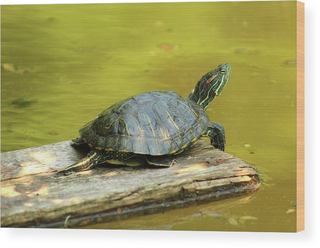 Turtle Wood Print featuring the photograph Laidback Turtle by Nadia Asfar