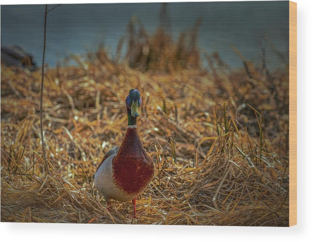 Duck.ducks Wood Print featuring the photograph Landed Duck #g2 by Leif Sohlman