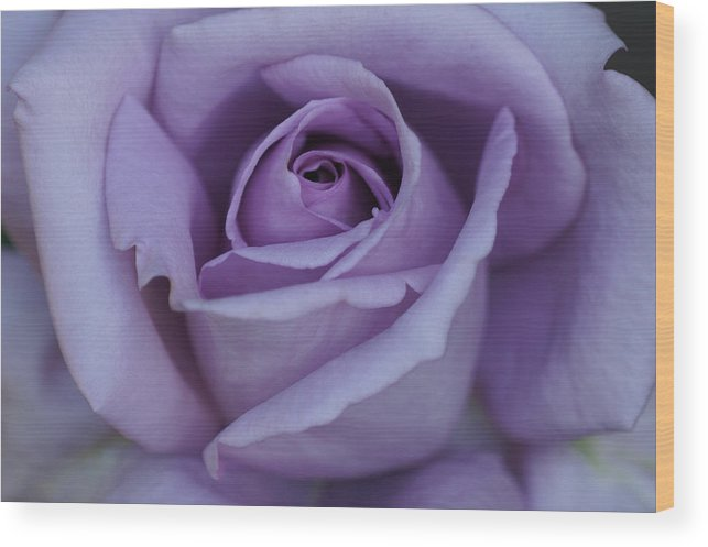 Center Wood Print featuring the photograph Large Purple Rose Center - 002 by Shirley Heyn