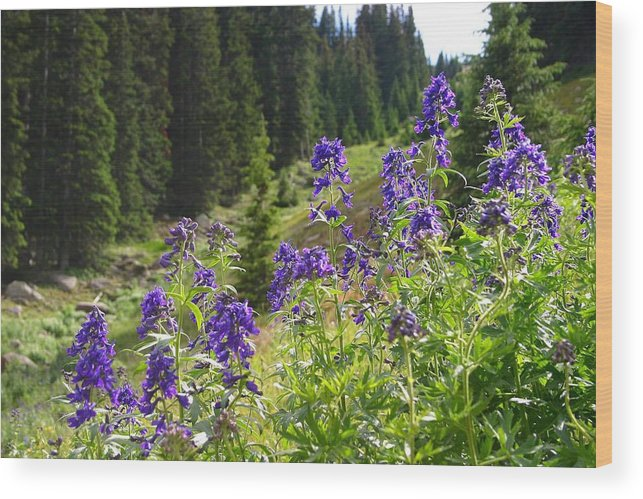 Larkspur Wood Print featuring the photograph Larkspur Along Trail Ridge Road by Perspective Imagery