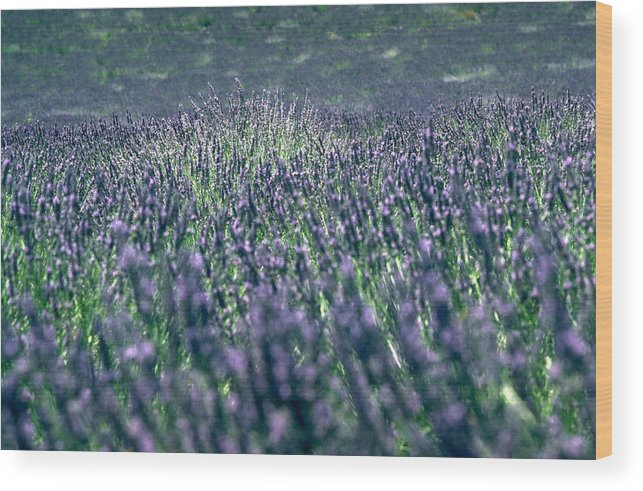 Lavender Wood Print featuring the photograph Lavender by Flavia Westerwelle