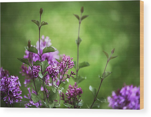 Lilacs Wood Print featuring the photograph Lilac Memories by Karen Casey-Smith