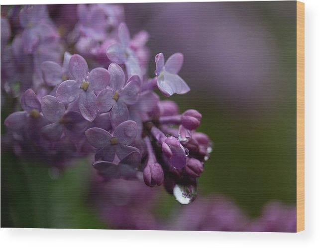 Colorado Wood Print featuring the photograph Lilacs After Rain by Marie Leslie