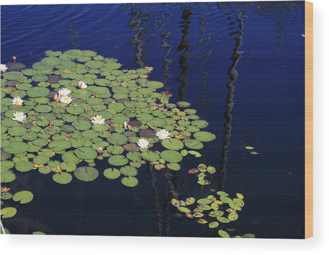 Lilypads Wood Print featuring the photograph Lily Worlds One by Alan Rutherford