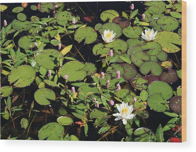 Lilypads Wood Print featuring the photograph Lily Worlds Two by Alan Rutherford