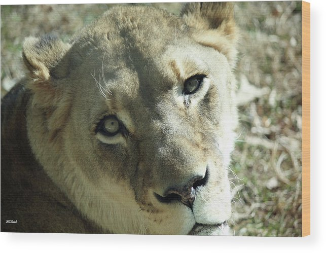 Maryland Wood Print featuring the photograph Lioness Up Close by Ronald Reid