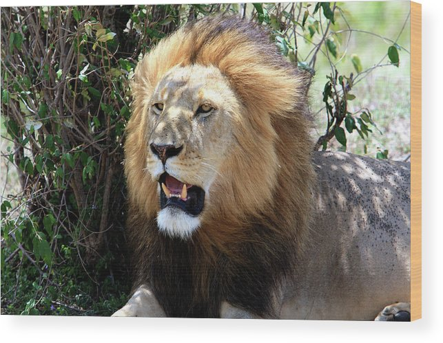 Africa Wood Print featuring the photograph Lions Of The Masai Mara, Kenya by Aidan Moran