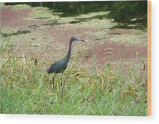 Nature Wood Print featuring the photograph Little Blue Heron by Kathy Schumann