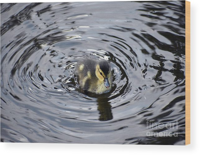 Baby Wood Print featuring the photograph Little Duckling Goes For A Swim by Rose De Dan
